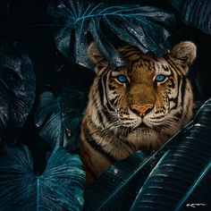Hello, it's Karen (karen). I created this piece to bring awareness to this species since it's still vulnerable to extinction, and… Most Beautiful Animals, Beautiful Creatures, Nature Animals, Animals And Pets, Big Cats, Cute Cats, Tier Fotos, Animal Wallpaper, Tiger Wallpaper