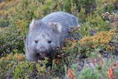 This little guy is certainly enjoying the many beautiful and varied colours of the Overland Track. Could this be the cutest wombat yet? Have a happy from Cute Wombat, Tasmania, Wildlife, Track, Guy, Colours, Happy, Animals, Beautiful