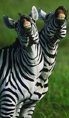 La doble sonrisa | #Cebra #Animales