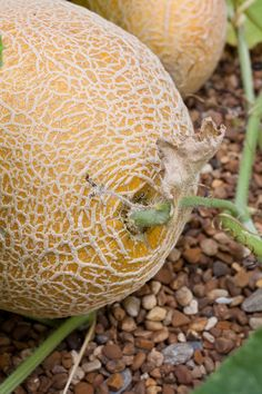 Page of information about growing Cantaloupe. The yellow-buff color of the rind tells that this Hale's Best variety of cantaloupe is ripe. Growing Cantaloupe, Growing Melons, How To Grow Cantaloupe, Growing Veggies, Growing Plants, Fruit Garden, Edible Garden, Vegetable Garden, Gardens