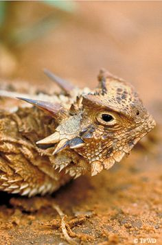 Texas Horny Toad (horned lizard) We used to catch these in west Texas at my cousins' house.  If you flip 'em over and rub their little tummies, they go to sleep.  Yes, they really do shoot blood out of their eyes as a defense!