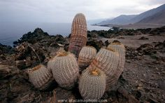 Copiapoa cinerea cacti at coast of Chile