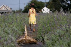 lavender fields, north fork long island