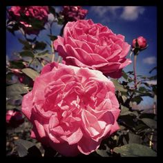 Roses at Zilker Botanical Garden