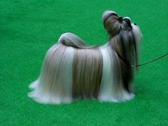 Beautiful Shih tzu