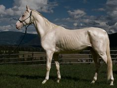 The Akhal Teke Horse from Turkey is a very thin, tubular horse with a metallic coat. It excels at cross-country endurance racing and is starting to be used in all European disciplines.