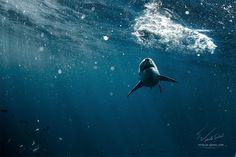 "shark - <a href=""http://www.shutterstock.com/ru/pic-273522908/stock-photo-great-white-shark-underwater-photo-in-open-water.html"">Great White Shark Underwater Photo in Open Water. Underwater photos by Vitaliy Sokol</a>  Isla Guadeloupe, Mexico / Остров Гваделупе, Мексика, 2014. Exciting diving with SharkExplorers team / Захватывающие приключения вместе с командой ""ШаркЭксплорерз""  Willyam Bradberry © Vitaliy-Sokol.com Фотограф Виталий Сокол, подводная фотосъемка.  My socials: VK: <a…"