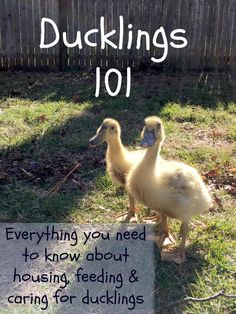 Everything you need to know to care for your ducklings - including details on just how messy they are!