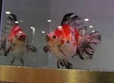 3- Calico goldfish B / T (calico goldfish B / T)