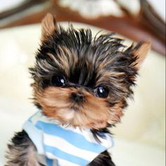 Micro-mini yorki! Ahhh I just died from his cuteness