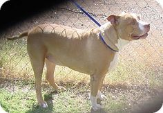 Glendale, Az.     Breed:    American Pit Bull Terrier    Color:    Brown/Chocolate - With White    Age:    Adult        Size:    Med. 26-60 lbs (12-27 kg)    Sex:    Male      I am already neutered, purebred, up to date with shots, and good with kids.    Bob's Story...