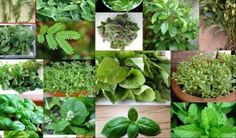 15 Plants & Herbs That Can Boost Lung Health, Heal Respiratory Infections & Repair Pulmonary Damage Herbal Remedies, Health Remedies, Natural Remedies, Healing Herbs, Medicinal Plants, Herb Plants, Elderberry Flower, Oregano Oil, Health Heal
