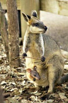 Kangourou au Featherdale Wildlife Park #Sydney #Australia