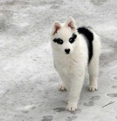 変わった毛色のハスキーだとずっと思っていたこのわんこ、ヤクーチアン・ライカ(yakutian laika)と言う犬種らしい。惚れた   話題の画像がわかるサイト