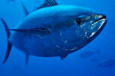 All information about Atlantic bluefin tuna. Pictures of Atlantic bluefin tuna and many more. Going Fishing, Best Fishing, Atlantic Bluefin Tuna, Fishing Photos, Fish Wallpaper, Salt Water Fish, Deep Sea Fishing, Endangered Species, Ocean Life