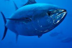 All information about Atlantic bluefin tuna. Pictures of Atlantic bluefin tuna and many more. Going Fishing, Best Fishing, Atlantic Bluefin Tuna, Fishing Photos, Salt Water Fish, Fish Wallpaper, Types Of Fish, Deep Sea Fishing, Endangered Species