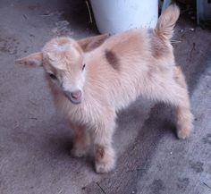 ♥  I want a goat