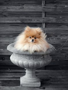 "*""The Pomeranians are in Bloom!"" (Touch of Color)"