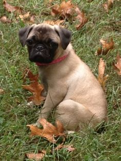 This is my 3mo old puppy Beatrice #pug  She was my birthday gift from my husband :) #ilovemyhusband