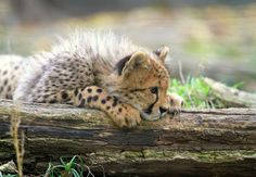 Photograph The curious cheetah cub by Rainer Leiss on African Cats, Baby Cheetahs, Cheetah Cubs, Gato Grande, Like A Cat, Animals Of The World, Cute Baby Animals, Belle Photo, Big Cats