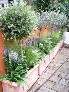 nice Potted Olive trees under planted with Agastache, agapanthus and anemone....