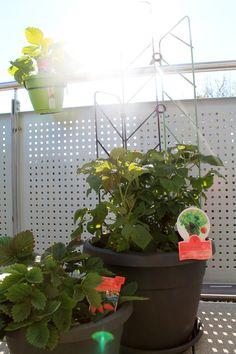 emsa MY CITY GARDEN – bepflanzt Urban Gardening – #mycitygarden - Der letzte Schnee ist weg und auch der Dauerregen hat gestern endlich aufgehört :) Jetzt sind dann endlich die Töpfe bepflanzt. - https://produkttest.emsa.com/?view=social&type=reply&id=147833
