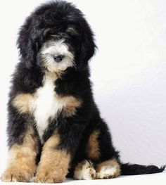 Bernese Mountain Dog and Poodle. hypoallergenic and doesn't shed-OMG love, especially since Bernese Mountain dogs are one of my favorite dogs, and even though I hate poodles. Love My Dog, Cute Puppies, Cute Dogs, Dogs And Puppies, Doggies, Baby Dogs, Adorable Babies, Bernese Mountain, Mountain Dogs