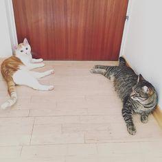 You wanna go out? Sorry but we won't move.  #luckythecat #charliethecat #love #cute #catsofsalzburg #unterfoehring #germany #cat #cutecatcrew #ilovemypet #catlovers #lovekittens #instapet #catsagram #kitten #kitty #catstagram #kittycat #catsofinstagram #ilovemycat #catlove #catoftheday #furry #cats_of_instagram #cats #catlife #katze #katzenliebe #instacat_meows #stubentiger