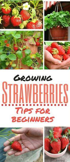 Container Gardening For Beginners 5 ideas to grow strawberries for beginner Home Vegetable Garden, Fruit Garden, Veggie Gardens, Water Garden, Organic Vegetables, Growing Vegetables, Organic Fruit, Strawberry Plants, Grow Strawberries