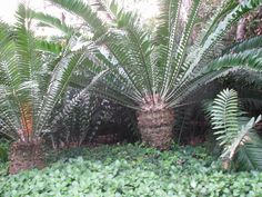 Encephalartos Altensteinii: a South African cycad that is very common in the Eastern Cape and is valued at R30