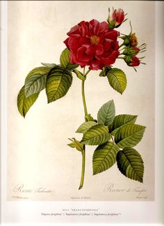 REDOUTE 2007 Antique ROSES Color Art Print by NaturalistCollection, $4.00