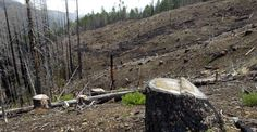Removing trees killed by fires might not be as damaging to forests as previously thought.