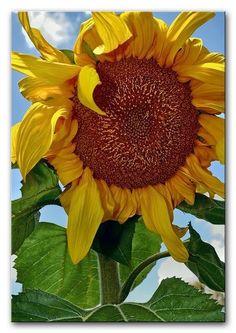 Sunflower by Tom Odaniell Sunflower Garden, Sunflower Flower, Sunflower Fields, Happy Flowers, Beautiful Flowers, Sun Flowers, Sunflowers And Daisies, Growing Sunflowers, Sunflower Pictures