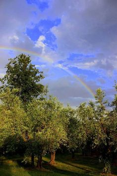 There's the rainbow among the olive trees!