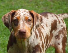 Catahoula - Double Ott Zoli