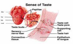 sense of taste - Szukaj w Google