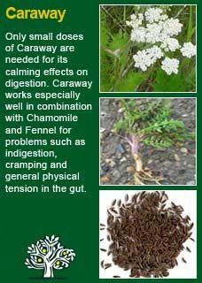Richard Whelan ~ Medical Herbalist ~ Caraway