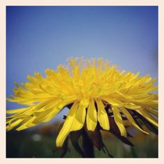 Dandelions - love them or hate them? Our good friend and wonderful gardener Laetitia Maklouf has a novel idea... Dandelion fritters Read on our Blog now #dandelions #growit