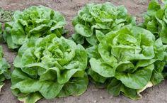 How to Easily Grow Lettuce: Butterhead lettuce