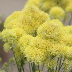 Thalictrum flavum subsp. glaucum - Poelruit Yellow Perennials, Garden Shade, Planting Plan, My Secret Garden, All Flowers, Colour Schemes, Garden Styles, Shrubs, Bbc