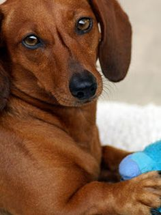 Such a cute doxie. I love this website!