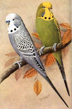 Normal Grey and Greygreen budgies. Grey and Greygreens can be distinguised from Mauve and Olives by their blue/grey cheek patches rather than violet, and black tails rather than blue.