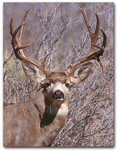 Mule deer.../ Trophy size steaks and BBQ ribs... I do not usually go in for trophy mounting, I do save the antlers, but this one would have to visit my local taxidermist. Yeah, what a beaut.../