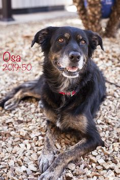 Osa is an adoptable Dog - German Shepherd Dog & Retriever Mix searching for a forever family near Surprise, AZ. Use Petfinder to find adoptable pets in your area. Surprise Az, Save Animals, Helping The Homeless, 9 Year Olds, German Shepherd Dogs, Four Legged, Snuggles, Pet Care, Animal Rescue