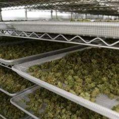 Buy OG-kush in Bulk - King Flavours Marijuana Butter, Cannabis Vape, Cannabis Seeds Online, Cannabis Seeds For Sale, Cannabis Plant, Medical Marijuana, Growing Marijuana Indoor, Cannabis Growing, Shopping