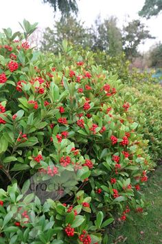 Latin name: Skimmia japonica, Common name: Japaneese skimmia Japanese skimmia (female) shown