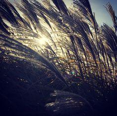 The grasses make magic in the winter sun.