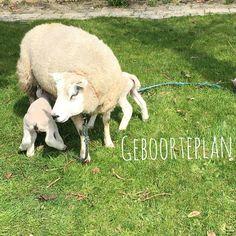 Goats, Baby, Animals, Everything, Animales, Animaux, Animal, Baby Humor, Animais