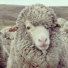 Merino sheep Now that looks like a brotha' I met before ;)