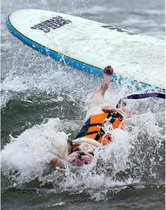 Surf Dog Competition | Surfing-dog-competition « « Dog Photos Collections - dog-photos.net ...